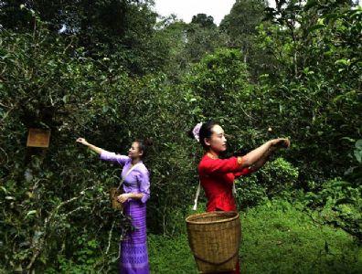 云南省推出最严规划最硬执法最实举措全力保护古茶山古茶树资源